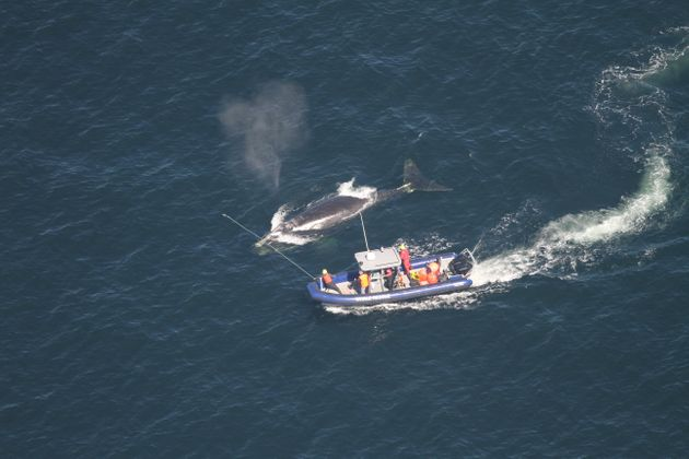 Crew members attempt to disentangle a whale in the Gulf of St. Lawrence in a handout