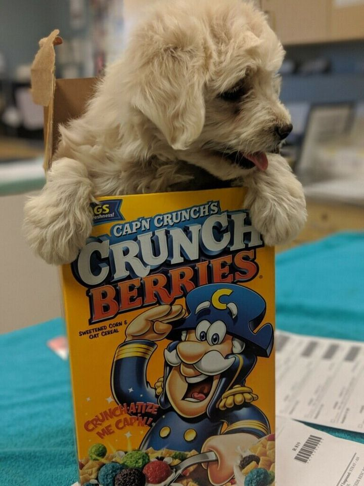 puppy in cereal box razz berry