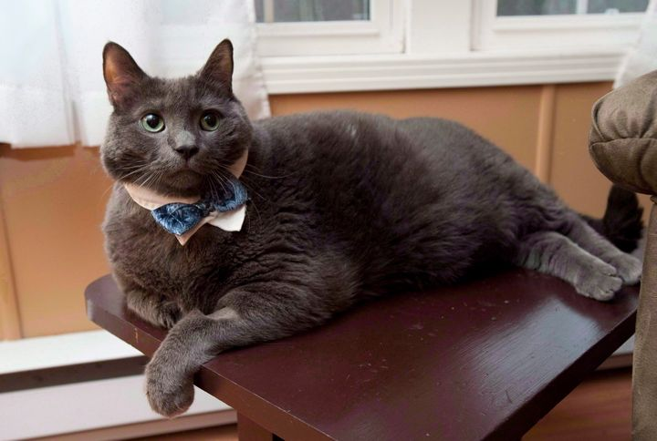 Tiny the cat, whose owners live in Rusagonis, N.B., made headlines around the world for his weight-loss journey. He's pictured here in 2012.