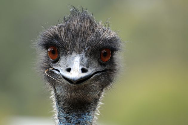 Not the emu in