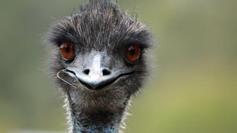 This wild emu in Australia looks a little bit stupid.