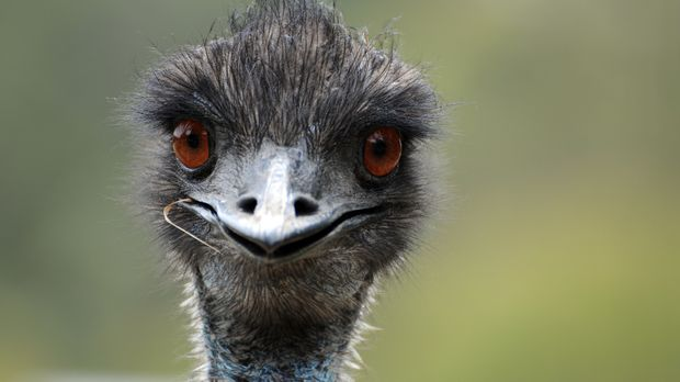 This wild emu in Australia looks a little bit stupid.