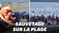 Des dauphins échoués sauvés grâce à des baigneurs sur la