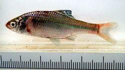 タナゴなど30種類が絶滅危惧種に。レッドリスト最新版を公表