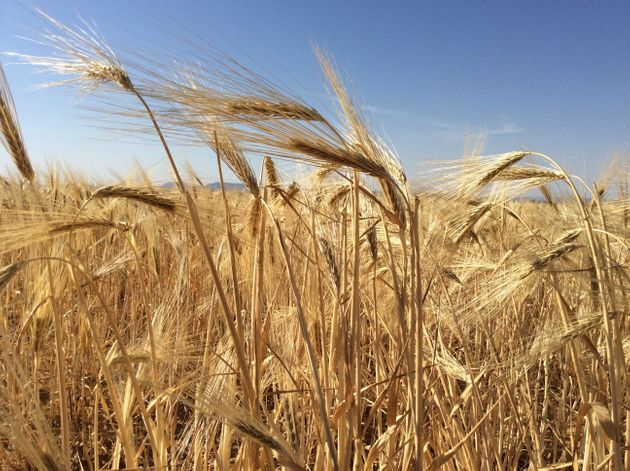 L'UTAP appelle à l'accélération du transport des récoltes des céréales