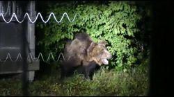 L'orso M49 all'interno del recinto: l'ultimo video prima della