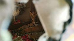 홍수에 지친 야생 호랑이가 가정집에 와 쉬고