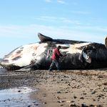Une neuvième baleine noire retrouvée