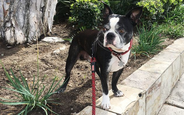 Duke, my Boston Terrier-French Bulldog mix, is prone to breathing issues and skin and ear