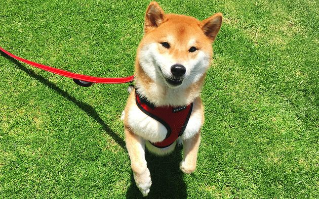 Katsu, a Shiba Inu, costs her parents an extra $50 per month in