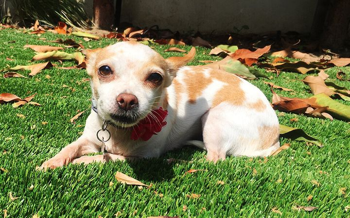 Chloe, a chihuahua, doesn't cost much for petsitting or boarding.