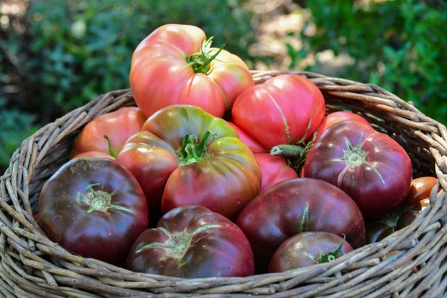 Purple Cherokee tomatoes (seen at the bottom of the basket) are a beautiful addition to a caprese