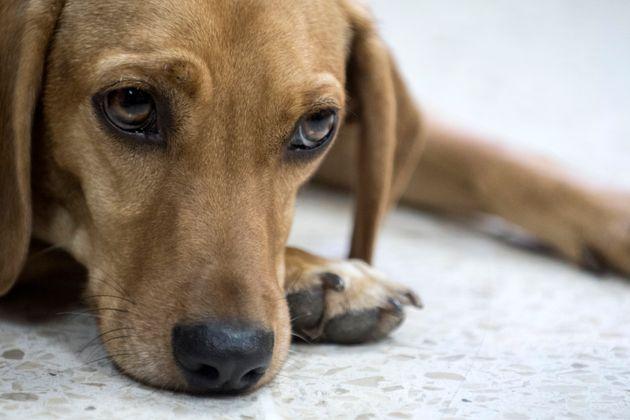 Au Costa Rica, ce chien a assisté en tant que victime au procès de son bourreau