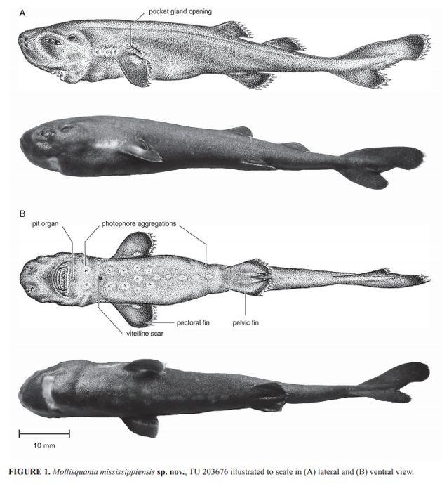 희귀종인 줄 알았던 14㎝ 길이의 '주머니 상어'가 신종으로 밝혀지기까지의