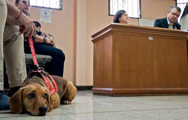 Le chien Campeon assiste au procès de son ancienne propriétaire, accusée de maltraitance...