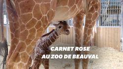 Voici Kimia, le girafon né au Zoo de
