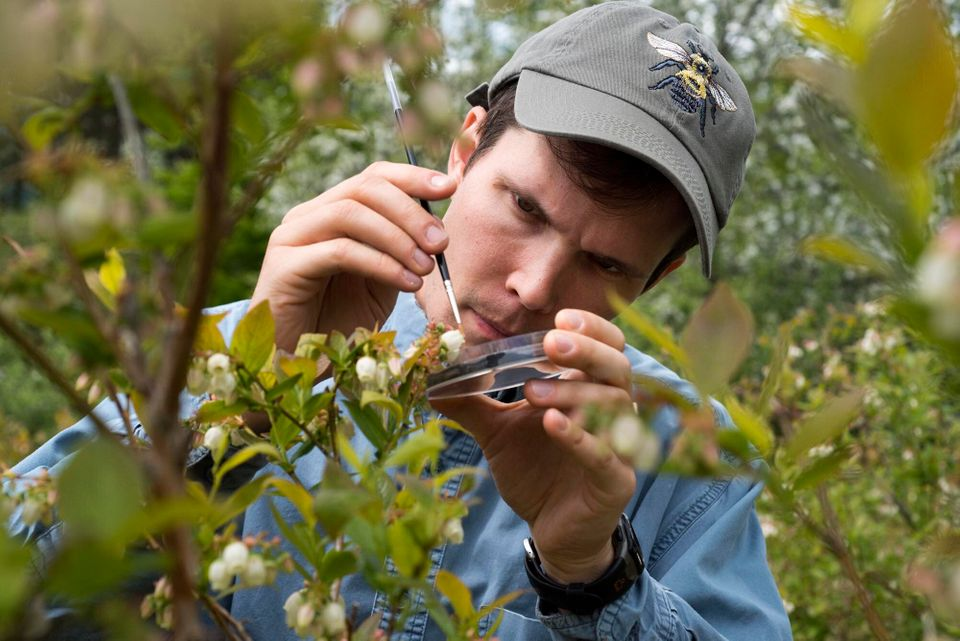 Charlie Nicholson uses a tiny paintbrush to pollinate blueberry plants with collected pollen at Knoll