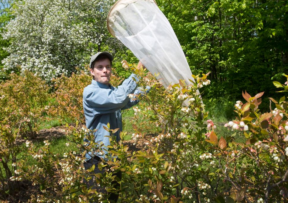 Charlie Nicholson tries to net wild pollinators at Knoll Farm in Waitsfield, Vermont.
