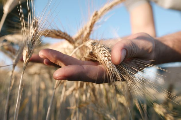 Les caprices de la pluviométrie ralentissent la production céréalière du