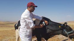 Fièvre aphteuse: Plus de 18 millions de têtes de bétail vaccinées par