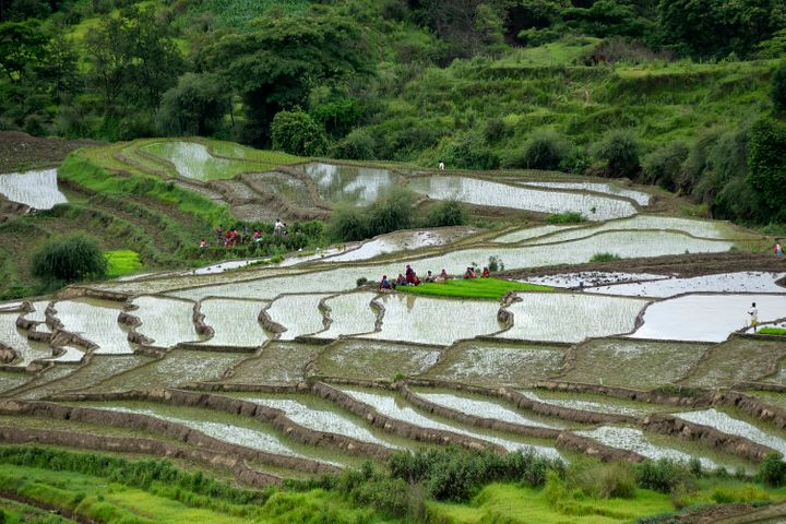 Nepalese farmers work on rice paddies in Dakshinkali, Kathmandu, Nepal. Water is pumped onto the paddies from a nearby water source due to low rainfall.