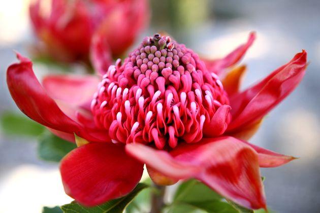 Waratah é a flor que inspirou a apresentação da cebola