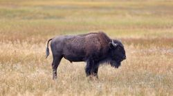 Bison At US's Yellowstone Park Tosses 9-Year-Old Girl Into