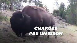 Un bison attaque une petite fille au parc de