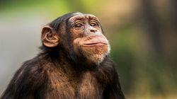 Dans un zoo de la Loire, un chimpanzé blesse grièvement un