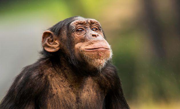 Un chimpanzé du zoo de Saint-Martin-la-Plaine a blessé gravement à la main un soigneur...