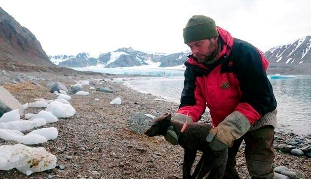 ノルウェーからカナダまでの3500キロ以上の距離を76日間で横断していた雌のホッキョクギツネ