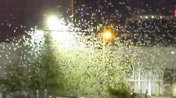Une pluie de sauterelles s'abat sur Las