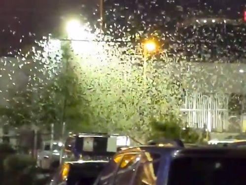 Des millions de sauterelles ont envahi les rues de Las Vegas ces derniers jours, à la suite d'un hiver et d'un printemps particulièrement humides dans la région.