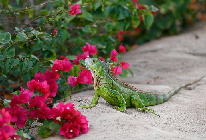 A green iguana checks out the flowers in Hollywood, Florida, in December 2016.