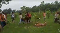 Με ματσέτες και δόρατα σκοτώνουν τίγρη που πασχίζει να σωθεί βάζοντας τις πατούσες στο κεφάλι
