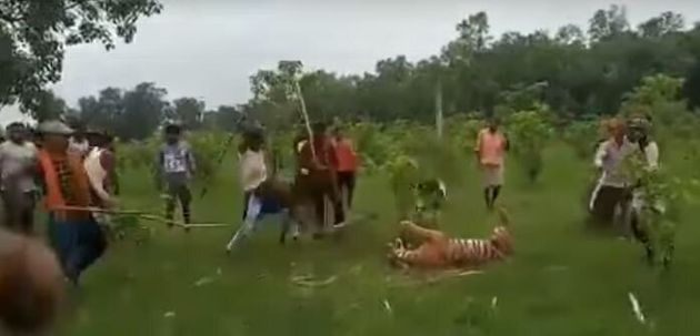 Με ματσέτες και δόρατα σκοτώνουν τίγρη στην Ινδία που μάταια πασχίζει να σωθεί (Σκληρές εικόνες -