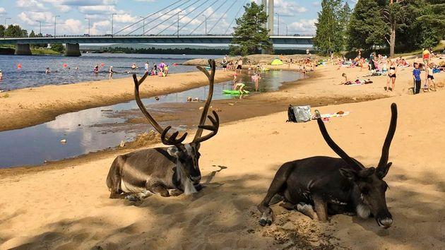 Φινλανδία: Τρελάθηκαν από τη ζέστη οι τάρανδοι και πήγαν στην