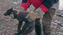 노르웨이에서 캐나다까지 3500km를 이동한 북극 여우가
