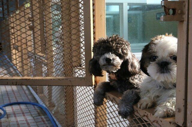 어미로부터 일찍 떨어진 강아지들은 면역력이 약할 뿐 아니라 사회화도 덜 되어 있다. 많은 이들이 이런 강아지들을 '몸이 약하고 성격이 좋지 않다'는 이유로 거리에...