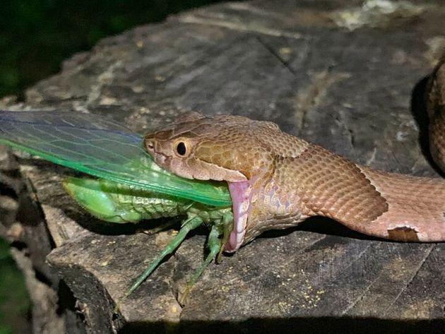 뱀이 매미를 통째로 삼키는 모습이 아마추어 사진가의 카메라에
