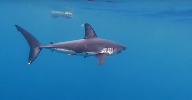 A salmon shark approaches a log about 250 miles off the coast of Vancouver