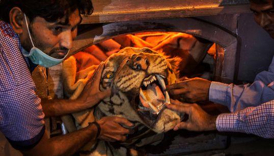 En Inde, le nombre de tigres augmente mais cache une hausse des morts