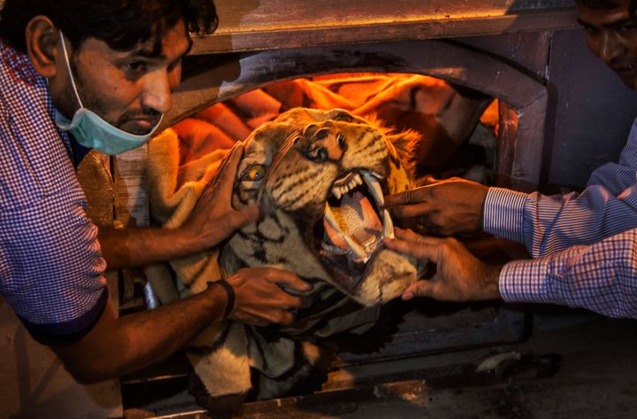 Official holds a tiger skin while preparing to set fire to a stockpile of illegal wildlife parts at the Delhi Zoo in New Delhi on Nov. 2, 2014. A stockpile of tiger skins, elephant tusks, rhino horns and other illegal animal parts were burnt in an effort to discourage wildlife smuggling.