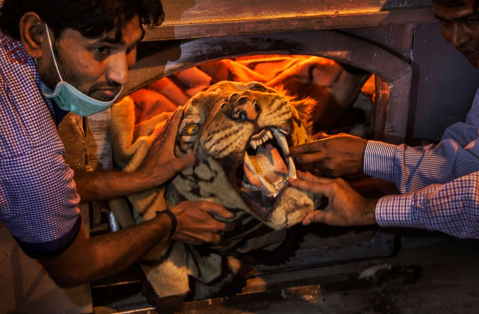 Official holds a tiger skin while preparing to set fire to a stockpile of illegal wildlife parts at the...