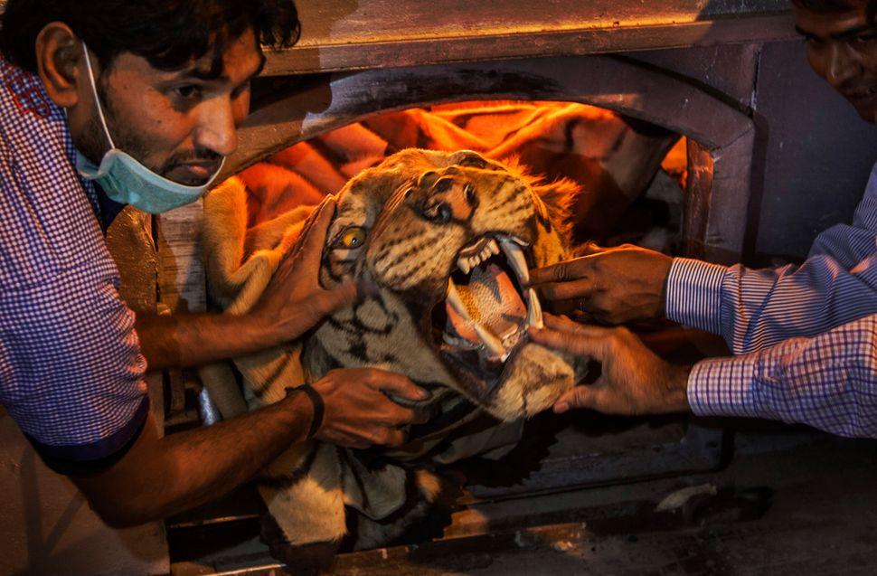 Un représentant de l'État tient une peau de tigre qu'il s'apprête à brûler avec d'autres trophées illégaux au zoo de New Delhi, le 2 novembre 2014. Une pile de peaux de tigres, de défenses d'éléphants, de cornes de rhinocéros et d'autres restes d'animaux menacés a ainsi été détruite pour décourager le braconnage d'espèces protégées.