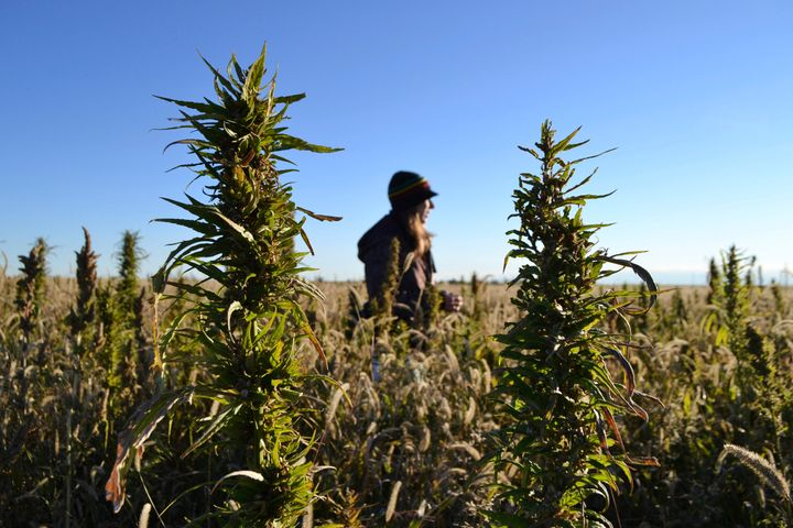 A woman stands in a hemp field at a farm in Springfield, Colo. in this 2013 file photo.