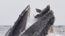 Θαλάσσιο λιοντάρι γλιστρά στο στόμα μιας φάλαινας -Μια σπάνια φωτογραφία και μια απίθανη