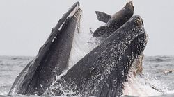 クジラがアシカを丸呑みする写真が衝撃的。「信じられないものを目撃した」カメラマンも驚がく