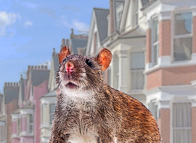 Brown Rats Are Plaguing Peoples Homes This Year – Heres Why