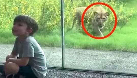 YIKES! Little Kid Finds Out What It's Like When A Lion Really Wants To Eat